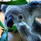 KoalaMRPL