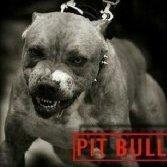 _PitBull_